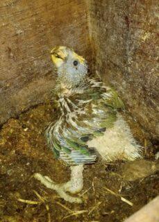 St. Vincent Parrot chick