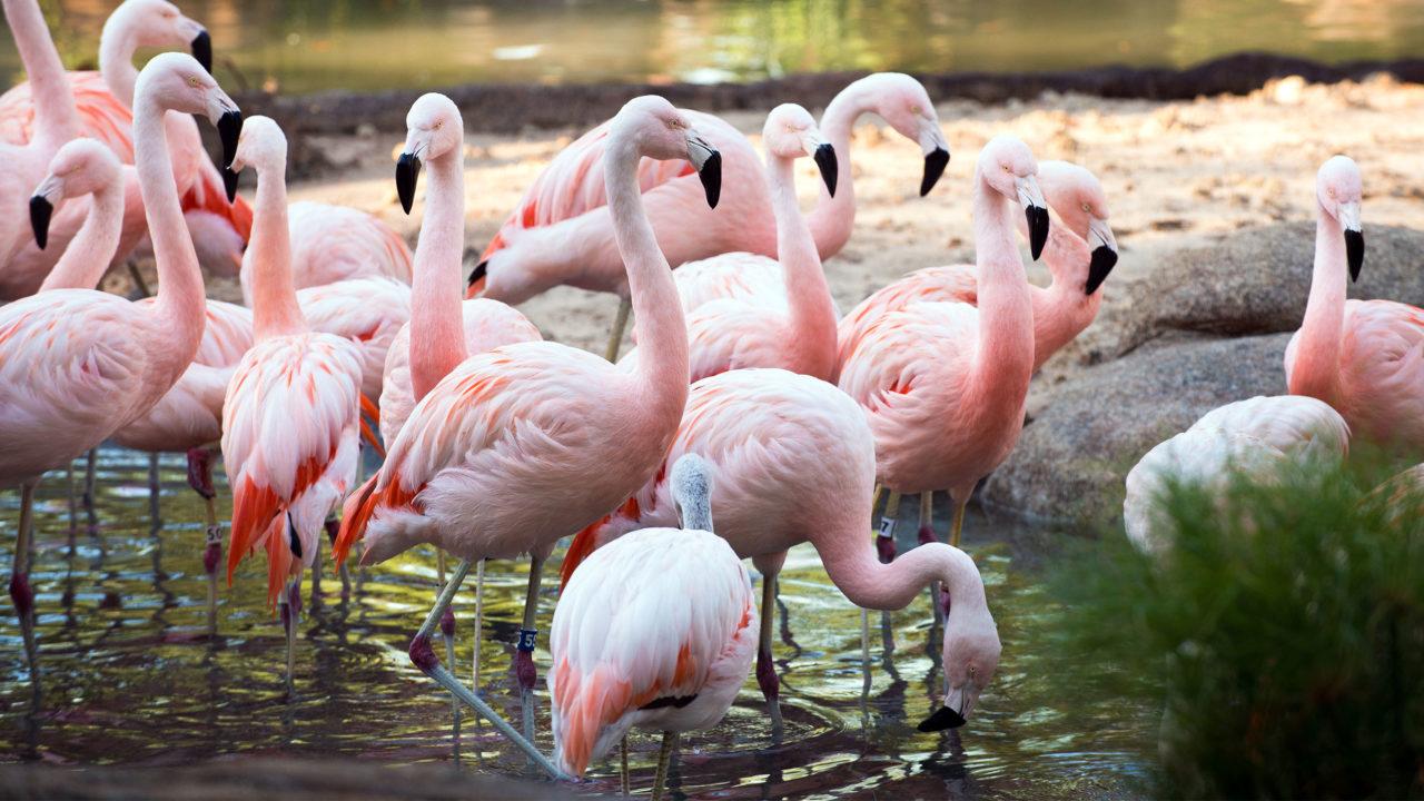 flock of flamingos in water habitat
