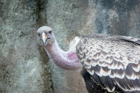 Male Rüppell's griffon vulture.