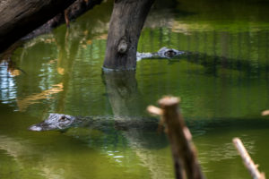 two alligators swimming in the water